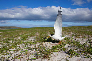 Little Tern (Sterna albifrons) at its nest amongst Black oats (Avena strigosa), on cultivated machair, Berneray, North Uist, UK. June. Crofting sympathetic to wildlife, photographed using remote camer...  -  David  Woodfall