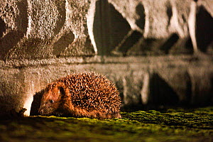 Hedgehog (Erinaceus europaeus) blocked from entering an urban garden by wall, Wales, UK. August. Small repro only.  -  David  Woodfall