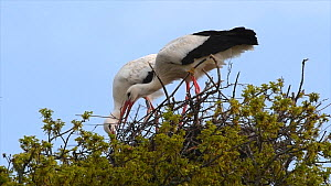 Pair of White storks (Ciconia ciconia) arranging nest material on their nest, Knepp Castle Estate, Sussex, England, UK, April. This is the first recorded instance of White storks nesting in the UK for...  -  Nick Upton