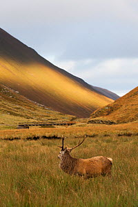 Red Deer (Cervus elaphus) stag standing in long grass, Alladale Wilderness Reserve, Scotland. October. - David  Woodfall
