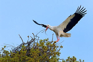 White stork (Ciconia ciconia) male landing with nest material at nest in Oak tree, Knepp estate, Sussex, UK, April 2019. This is the first recorded instance of White storks nesting in the UK for sever...  -  Nick Upton