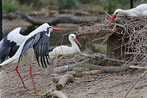 White stork (Ciconia ciconia) trying to steal nest material from another's nest. In captive breeding colony raising chicks for UK White Stork reintroduction project at the Knepp Estate. Cotswold W...  -  Nick Upton