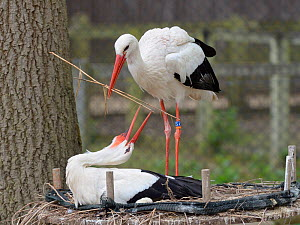 White stork (Ciconia ciconia) bringing extra nest material to its nest, whilst its mate sits. In captive breeding colony raising chicks for UK White Stork reintroduction project at the Knepp Estate. C...  -  Nick Upton