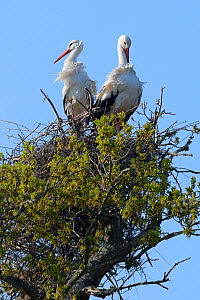 White stork (Ciconia ciconia) pair standing on their nest in an Oak tree, Knepp estate, Sussex, UK, April 2019. This is the first recorded instance of White storks nesting in the UK for several hundre...  -  Nick Upton