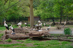 White stork (Ciconia ciconia) captive breeding colony raising chicks for UK White Stork reintroduction project at the Knepp Estate. Cotswold Wildlife Park, Oxfordshire, UK, April 2019. Property releas...  -  Nick Upton