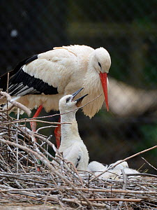 White stork (Ciconia ciconia) chick begging from a parent on its nest. In captive breeding colony raising young birds for UK White Stork reintroduction project at the Knepp Estate. Cotswold Wildlife P...  -  Nick Upton