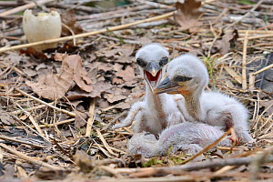Recently hatched White stork (Ciconia ciconia) chicks begging for food in their nest. In captive breeding colony raising young birds for UK White Stork reintroduction project at the Knepp Estate. Cots...  -  Nick Upton