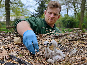 Richard Wardle feeding fish to recently hatched White stork (Ciconia ciconia) chicks in nest. In captive breeding colony raising young birds for UK White Stork reintroduction project at the Knepp Esta...  -  Nick Upton