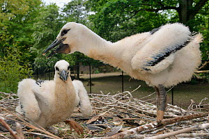 White stork (Ciconia ciconia) standing on nest. In captive breeding colony raising young birds for UK White Stork reintroduction project at the Knepp Estate. Cotswold Wildlife Park, Oxfordshire, UK, M...  -  Nick Upton