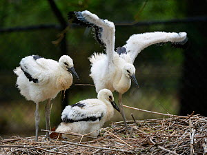 White stork (Ciconia ciconia) chicks standing and wing flapping in nest. In captive breeding colony raising young birds for UK White Stork reintroduction project at the Knepp Estate. Cotswold Wildlife...  -  Nick Upton