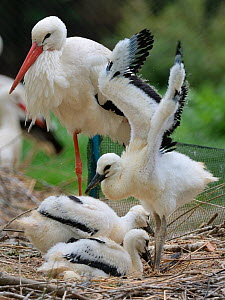 White stork (Ciconia ciconia) chick standing and wing flapping in nest beside two siblings and a parent. In captive breeding colony raising young birds for UK White Stork reintroduction project at the...  -  Nick Upton