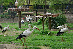 White stork (Ciconia ciconia) captive breeding colony raising chicks for UK White Stork reintroduction project at the Knepp Estate, Cotswold Wildlife Park, Oxfordshire, UK, April 2019. Property releas...  -  Nick Upton