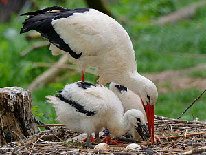 White stork (Ciconia ciconia) parent regurgitating food and water to its begging chicks. In captive breeding colony raising young birds for UK White Stork reintroduction project at the Knepp Estate. C...  -  Nick Upton