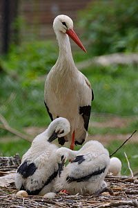 White stork (Ciconia ciconia) standing beside its two preening chicks. In captive breeding colony raising young birds to supply UK White Stork reintroduction project at the Knepp Estate. Cotswold Wild...  -  Nick Upton