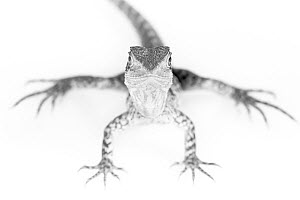 Portrait of a rescued Eastern Water Dragon, 1+Intellagama lesueurii lesueuri+2. Captive, rescued from wildlife smuggling. - Doug Gimesy