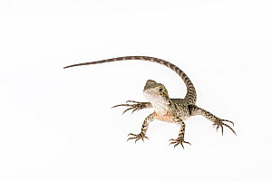 Portrait of a rescued Eastern Water Dragon, (Intellagama lesueurii lesueuri). Captive, rescued from wildlife smuggling. - Doug Gimesy