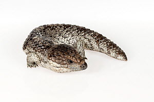 Portrait of a Shingleback lizard (Tiliqua rugosa asper). Captive, rescued from wildlife smuggling. - Doug Gimesy