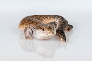 Portrait of a Eastern blue-tongue skink (Tiliqua scincoides). Captive, rescued from wildlife smuggling. - Doug Gimesy