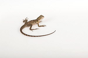 Portrait of a rescued Eastern Water Dragon, (Intellagama lesueurii lesueuri), rescued from wildlife smuggling, Captive. - Doug Gimesy