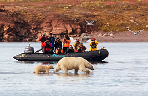 Polar bear (Ursus maritimus) with cub in front of tourists, Svalbard Norway, July.  -  Tony Heald