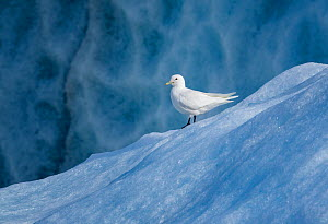 Ivory gull (Pagophila eburnea) Svalbard, Norway, July.  -  Tony Heald