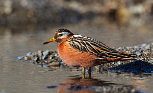 Grey phalarope (Phalaropus fulicaria) Svalbard, Norway, July.  -  Tony Heald