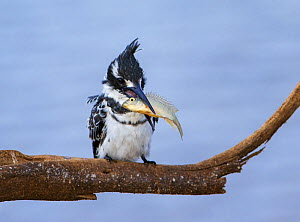 Pied kingfisher (Ceryle rudis) with a fish, Kruger National Park, South Africa.  -  Tony Heald