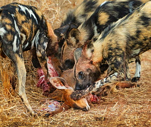 African wild dog (Lycaon pictus) eating an Impala (Aepyceros melampus) Kruger National Park, South Africa.  -  Tony Heald
