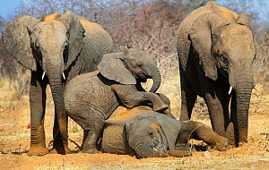 Elephant (Loxodonta africana) calves playing, Etosha National Park,Namibia. - Tony Heald