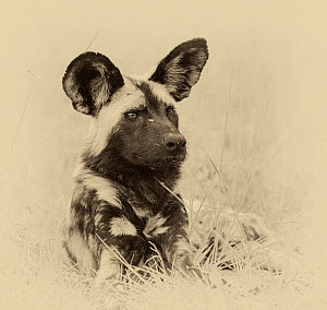 African wild dog (Lycaon pictus) portrait. Chobe National Park Botswana. Digitally enhanced sepia image.  -  Tony Heald