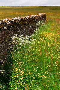 Dry stone walls in a field of Cow parsley (Anthriscus sylvestris) and Buttercups (Ranunculus acris), New House National Nature Reserve and North Pennine Dales Meadows Special Area of Conservation, Yor... - David  Woodfall