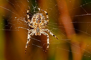 Close up of the underside of a Garden spider (Araneus diadematus) weaving its web, UK. September. - David  Woodfall