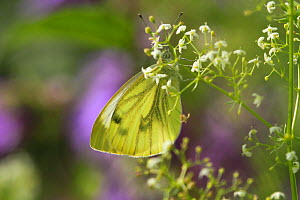 Close up of a Green-veined white butterfly (Pieris napi) in a garden, Chepstow, UK. July. - David  Woodfall