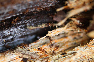 Brown tree ants (Lasius brunneus) in rotting wood, Epping Forest, Essex, UK. May. - David  Woodfall