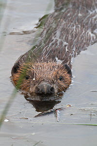 Beaver (Castor fiber) swimming with head above the water, Wales, UK. July. - David  Woodfall