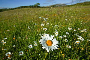 Ox-eye daisies (Leucanthemum vulgare) in grassland, Burren National Park, Republic of Ireland. June 2012. - David  Woodfall