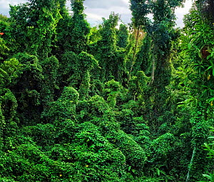 Damaged forest overgrown by various vines, a typical scene in western part of Dominica, West Indies. After hurricane Maria an unprecedented number of vines took advantage of suddenly open spaces in th...  -  Derek Galon