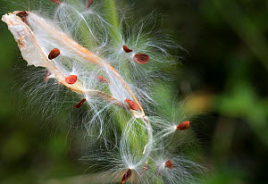 Seeds of Bloodflower plant (Asclepias curassavica) blown by wind from their pod. Dominica, Eastern Caribbean, Lesser Antilles. Focus stacked photo. - Derek Galon