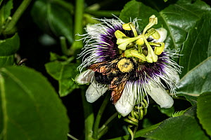 Tropical carpenter bee (Xyloscopa brasilianorum) pollinating a Passionfruit (Passiflora edulis). Dominica, Eastern Caribbean. - Derek Galon
