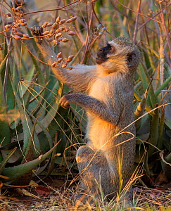 Vervet monkey (Cercopithecus aethiops) eating, Kruger National Park South Africa. - Tony Heald
