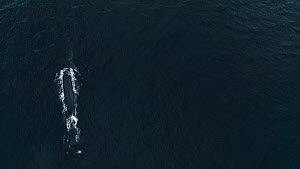 Aerial shot of a Fin whale (Balaenoptera physalus) surfacing, Skjervoy, Troms, Norway, November. - Espen Bergersen