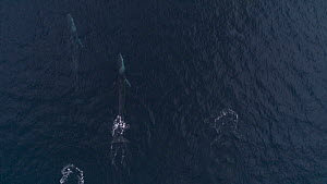Aerial shot of a group of Fin whales (Balaenoptera physalus) surfacing, Skjervoy, Troms, Norway, November.  -  Espen Bergersen