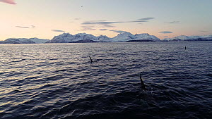 Aerial shot of a small pod of Killer whales (Orcinus orca) at surface, with snowy landscape in the background, Skjervoy, Troms, Norway, December. - Espen Bergersen