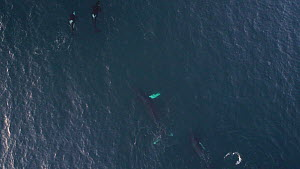 Aerial shot of a female Humpback whale (Megaptera novaeangliae) and calf surrounded by Killer whales (Orcinus orca), mother hits sideways with her tail fluke to drive Killer whales away, Skjervoy, Tro... - Espen Bergersen