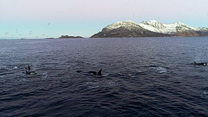 Aerial shot of a pod of Killer whales (Orcinus orca) swimming at the surface, hunting Atlantic herring (Clupea harengus), with one tail slapping, Tromvik, Troms, Norway, December.  -  Espen Bergersen