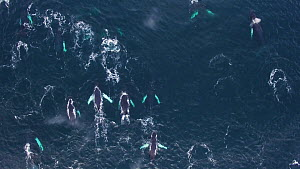 Aerial shot of a large group of Humpback whales (Megaptera novaeangliae), Troms, Norway, January. - Espen Bergersen