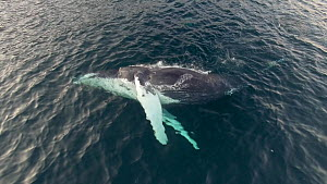 Aerial shot of a Humpback whale (Megaptera novaeangliae) swimming showing belly, Troms, Norway, January. - Espen Bergersen
