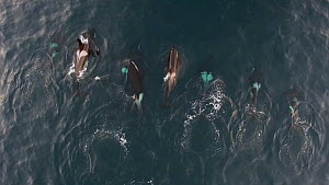 Aerial shot of eight Killer whales (Orcinus orca) swimming at surface, Troms, Norway, January. - Espen Bergersen