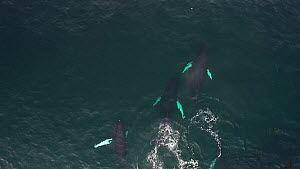 Aerial shot of four Humpback whales (Megaptera novaeangliae) swimming near to a shoal of Atlantic herring (Clupea harengus), Troms, Norway, January.  -  Espen Bergersen