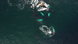 Aerial shot of three Humpback whales (Megaptera novaeangliae) swimming into a shoal of Atlantic herring (Clupea harengus), preparing to lunge feed, Troms, Norway, January.  -  Espen Bergersen